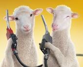 Две овцы по цене одного бензина