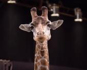 Не будь жирафом!