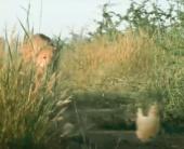 Чи можливо приручити гепарда?